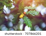 acorns on a branch in an oak... | Shutterstock . vector #707866201