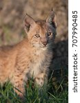 single siberian lynx kitten ...   Shutterstock . vector #707990485
