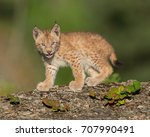 single siberian lynx kitten ...   Shutterstock . vector #707990491