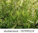 fresh green rosemary herb... | Shutterstock . vector #707999119