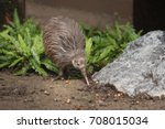 the north island brown kiwi on... | Shutterstock . vector #708015034