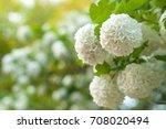 Chinese Snowball Viburnum...