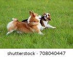 corgi and beagle dogs run... | Shutterstock . vector #708040447