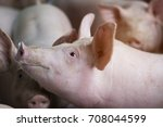 group of hog waiting feed. pig... | Shutterstock . vector #708044599