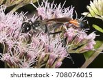 Small photo of Ammophila sabulosa (the red-banded sand wasp), a species of the hunting wasp family Sphecidae