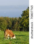 Close to a cow in Bavaria - stock photo