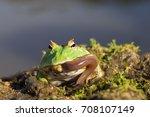 argentinian horned frog eating...   Shutterstock . vector #708107149