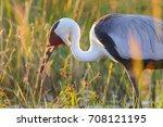 wattled crane adult in... | Shutterstock . vector #708121195