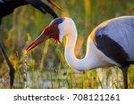 wattled crane adult in... | Shutterstock . vector #708121261