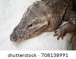 Small photo of dwarf crocodile (Osteolaemus tetraspis), also known commonly as the African dwarf crocodile