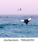 A Humpback Whale Waves Its Tail ...