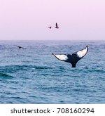 A Humpback Whale Waves Its Tai...