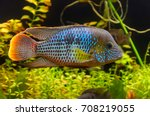 green terror  andinoacara...   Shutterstock . vector #708219055