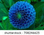 Isolated Blue Dahlia Flower...