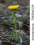Small photo of Agoseris (Agoseris sp) is a member of the Chickory tribe.