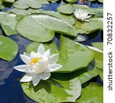 Water Lily With Green Leaves O...