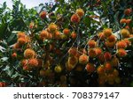 rambutan fruits in the garden... | Shutterstock . vector #708379147