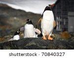 Penguins On The Stone Coast Of...