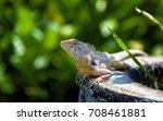 green iguana reptiles. perfect... | Shutterstock . vector #708461881