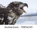 Alaskan Bald Eagle On Icy Water