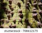 ceiba speciosa. tropical tree... | Shutterstock . vector #708612175