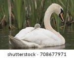 Mute Swan  Juveniles  Cygnus...