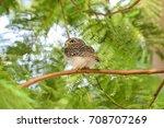 bird spotted owlet  athene... | Shutterstock . vector #708707269