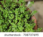 color photo of mentha arvensis... | Shutterstock . vector #708737695