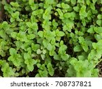 color photo of mentha arvensis... | Shutterstock . vector #708737821