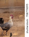 White And Black Brahma Rooster...