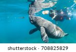 juvenile manatee swims along... | Shutterstock . vector #708825829