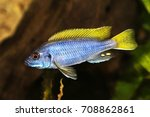 Yellow Tail Acei Cichlid...