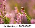 heather. ladybug on a bush of...