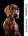 weimaraner | Shutterstock . vector #708889141