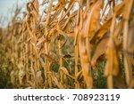 golden dry corn field on a... | Shutterstock . vector #708923119