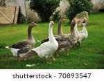 Flock Of White And Brown Geese...