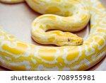 Gold Python Reticulated Python...