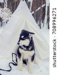 Small photo of a Alaskan Malamute puppy in Christmas sleigh in winter forest