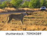 Lioness stalking antelope in African national park with a tourist car in the background - stock photo
