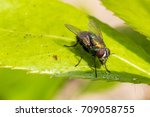 house fly on leaf  | Shutterstock . vector #709058755