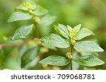 garden spurge  asthma weed ... | Shutterstock . vector #709068781