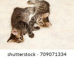 Stock photo two cute fluffy kittens play on a soft blanket pets hypoallergenic breed of cats 709071334