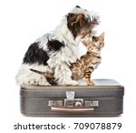 Biewer Yorkshire Terrier And...