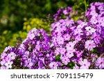 phlox flower  | Shutterstock . vector #709115479