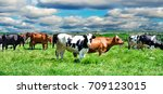 cows on a pasture on a...   Shutterstock . vector #709123015