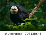 white faced saki  pithecia... | Shutterstock . vector #709138645
