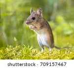 Wood Mouse Standing Straight...