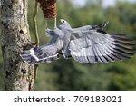 amazing animal. african harrier ... | Shutterstock . vector #709183021