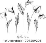 anthurium flowers illustration ... | Shutterstock .eps vector #709209205