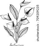 anthurium flowers illustration ... | Shutterstock .eps vector #709209235